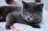 kitten cat scottish straight, lop-eared fluffy, animal tree