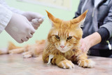 red fluffy cat on examination in a veterinary clinic. Analysis of blood in the animals - 229652512