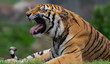 Bengal tiger roaring
