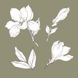 Set with Magnolia flowers and buds. Vector botanical illustration - 229662380