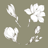 Set with Magnolia flowers and buds. Vector botanical illustration - 229662391