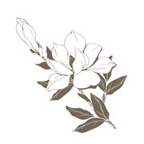 Magnolia flowers and buds on white. Vector illustration - 229662396