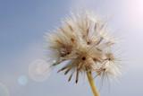 Dandelion flower as background