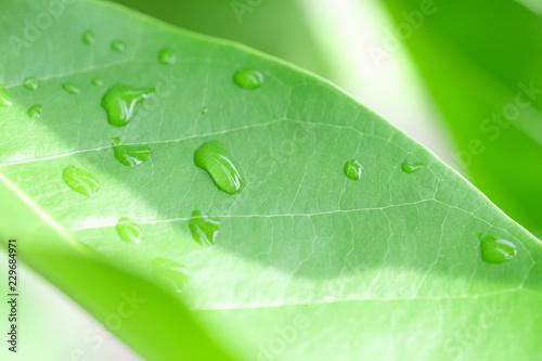 Leinwandbild Motiv Rain drops on the green leaf in the rainy season.