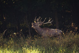 Red Deer male roars - 229689715