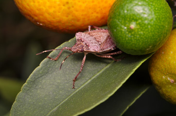 Brown marmorated stink bug (Halyomorpha halys) on a green leaf of a lemon tree (Ita: cimice asiatica; Deu: Marmorierte Baumwanze; Fra: Punaise diabolique: Spa: Bernat marbrejat)