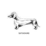 Hand drawn dachshund - 229691936