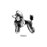 Hand drawn poodle - 229692100