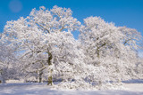 Mature oak trees covered in snow under a clear blue sky