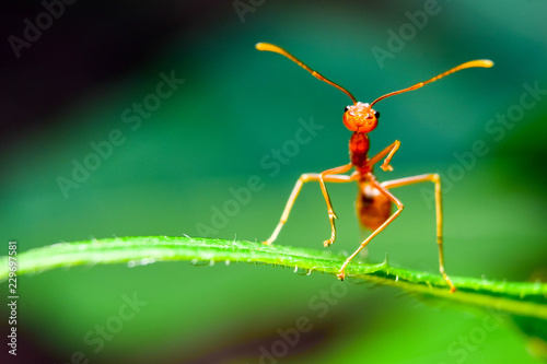 The ant stands on the leaf graceful gesture. - 229697581