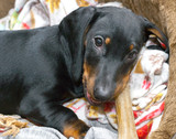 Three-month puppy of black and tan dachshund chewing on bone