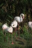 flamingo in zoo