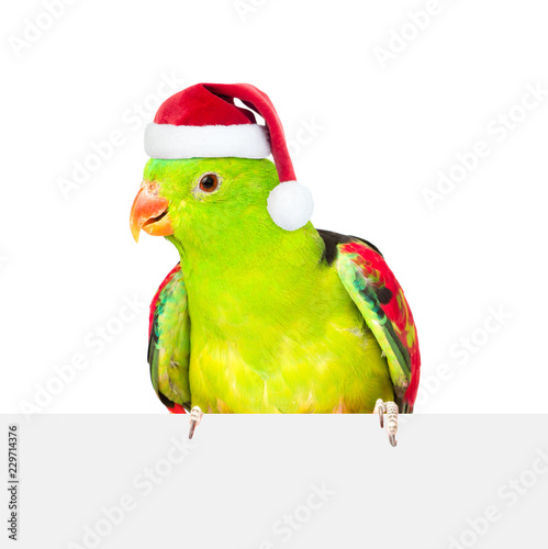 Leinwanddruck Bild Red-Winged Parrot (Aprosmictus erythropterus)in red christmas hat over white banner. isolated on white background
