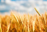 natural with ripe ears and grains of wheat matured on a yielding agricultural field on a Sunny day against a blue sky © nataba