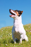Jack Russell Terrier sitting on grassy bank