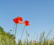 Poppy flowers field. Rural landscape with red wildflowers