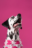 Portrait of Dalmatian dog in pink bandana na pink backgroung. Dog looking up. Place for text