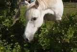 Grey pony with face covered in flies - 229730538