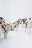 Team of sled dogs in a blizzard at the Kamchatka peninsula