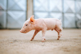 One cute pink baby pig. - 229749127