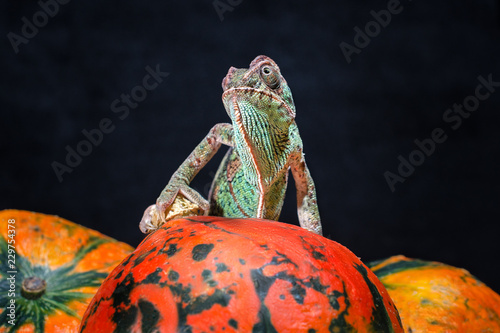 Samica jemeński kameleon siedzi na jasnym pomarańczowym dyni