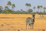 A lone Burchell Zebra - Equus quagga - standing on the dried yellow plains with palm trees in the background against a pale blue sky in Hwange National Park, Zimbabwe