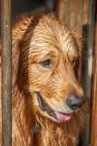 Wet Golden Retriever After Swim - 229763314