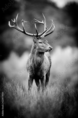 cerf gibier chasse animal cervidé cor bois herbe haute noir et blanc nb portrait brame - 229778151