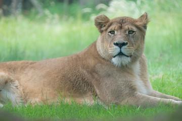 lionne lion savane fauve animal roi fourrure dangereux allongé repos herbe