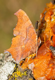 Ventral view of a Question Mark butterfly feeding on fermented Persimmon fruit pulp