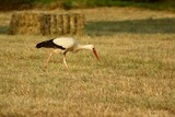 stork in the field, summer evening sunset