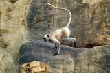 Galloping on the rocks monkey, hanuman langur - 229799587