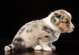 Welsh corgi puppy Dog  Isolated  on Black Background in studio - 229803326