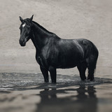Black horse in water like black gold