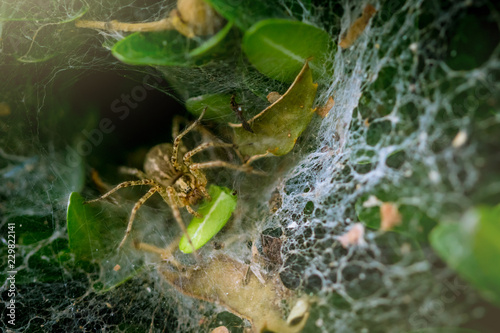 A spider hidden in an oval web surrounded by leaves. Spider waiting in web to catch prey - 229822141