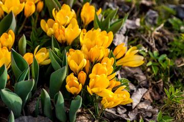 Yellow crocuses in the garden