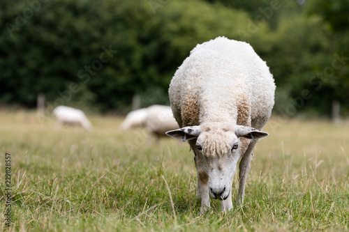 Sheep - 229828557