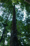 Tall Tree in the Amazon forest
