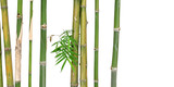 green short bamboo isolated