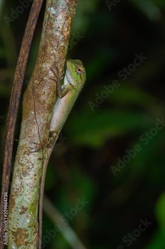 Zbliżenie piękny zielony kameleon na drzewnym bagażniku w lesie w Tajlandia parku narodowym