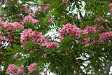 vermilion flamboyant tree - 229875503