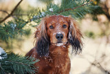 dachshund dog portrait outdoors in winter