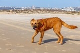 Red dog walking on the beach