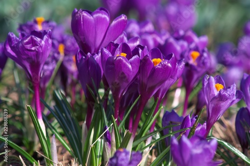 spring crocuses - 229888339