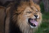 roaring lion portrait - 229890133