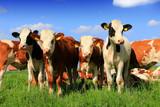 Calves on the field - 229892507