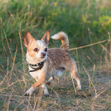 Funny chihuahua puppy on the grass