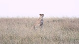 five male cheetahs looking around and moving towards hunt in Maasai Mara National reserve - 229895301