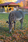 zebra eating autumn fallen leaves in a city park.