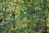 beech tree leaves texture - 229907313